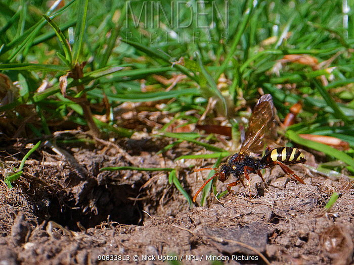 Marsham's cuckoo bee / Nomad bee (Nomada marshamella) a parasite of solitary bees, approaching the nest burrow of a Chocolate mining bee (Andrena scotica) a regular host species, Wiltshire garden, UK, April.