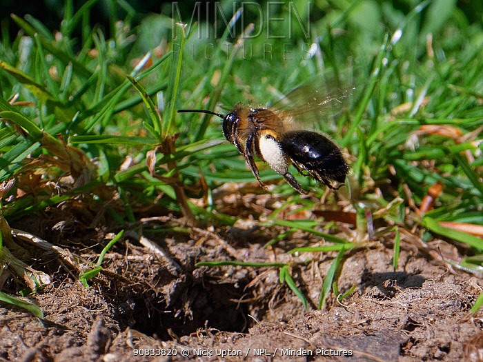 Chocolate mining bee (Andrena scotica) female flying down to her nest burrow with loaded pollen baskets to provision her brood cells, Wiltshire garden, UK, April.