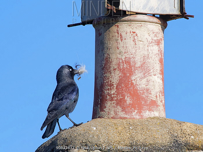 Jackdaw (Corvus monedula) standing beside a chimney pot with feathers in its beak for lining its nest inside the pot, Wiltshire, UK, March.