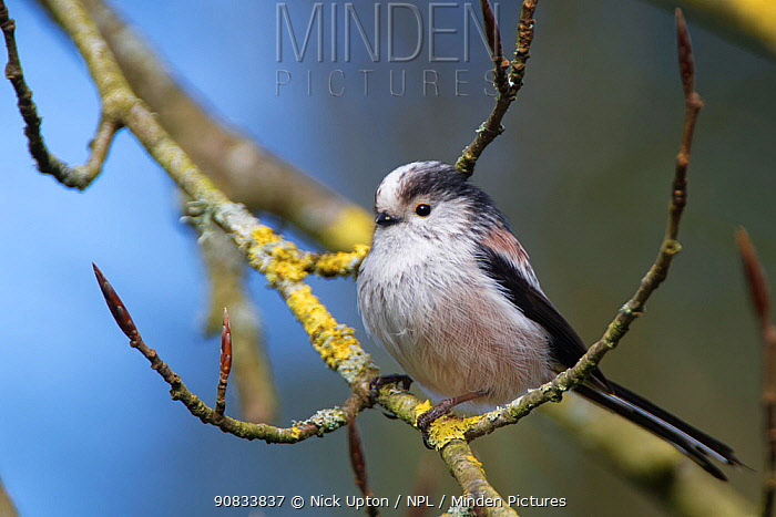 Long-tailed tit (Aegithalos caudatus) perched in a Beech tree (Fagus sylvatica) with unopened leaf buds in a garden, Wiltshire, UK, March.