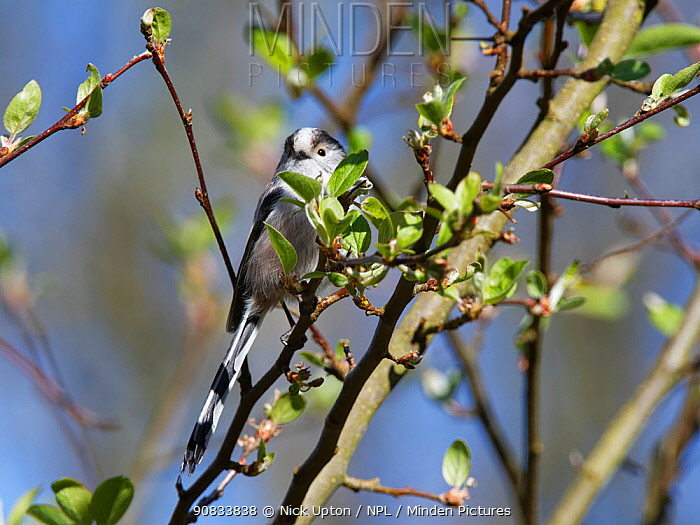 Long-tailed tit (Aegithalos caudatus) perched in a Crab apple (Malus sylvestris) tree in a garden, Wiltshire, UK, March.