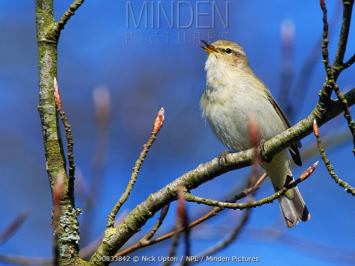 Chiffchaff (Phylloscopus collybita) singing while perched in a Beech tree (Fagus sylvatica) with unopened leaf buds in a garden, Wiltshire, UK, March.