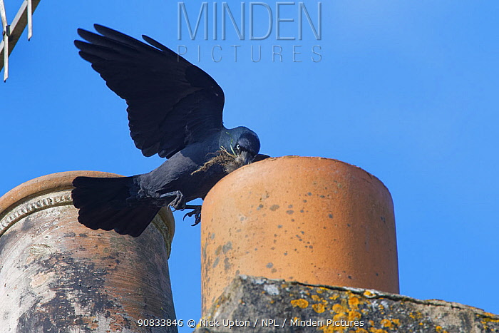 Jackdaw (Corvus monedula) flying to a chimney pot it is nesting in with small sticks and animal hair in its beak for lining its nest, Wiltshire, UK, March.