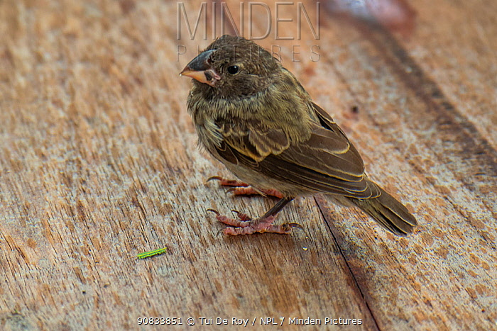 Darwin's medium ground finch (Geospiza fortis) recovering from introduced avian pox in photographer Tui De Roy's garden, Santa Cruz Island, Galapagos Islands