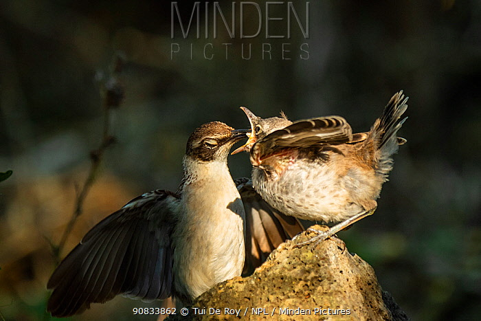 Galapagos mockingbird (Mimus parvulus) parent feeding fledgling in photographer Tui De Roy's garden, Santa Cruz Island, Galapagos Islands