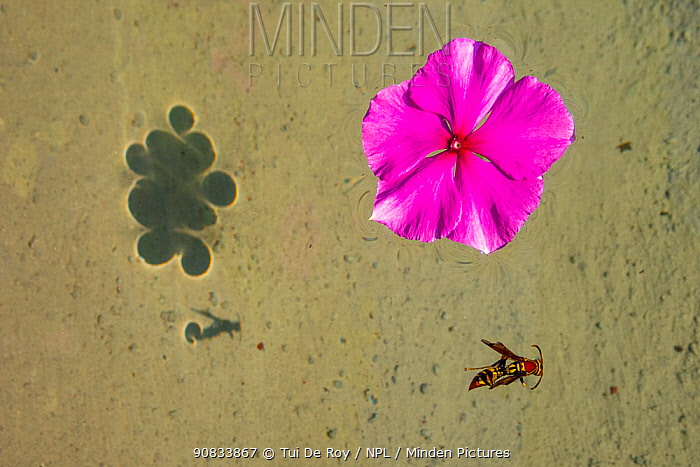 Flower and dead hornet floating in shallow waters in Tui De Roy's garden Santa Cruz Island, Galapagos Islands April 2020