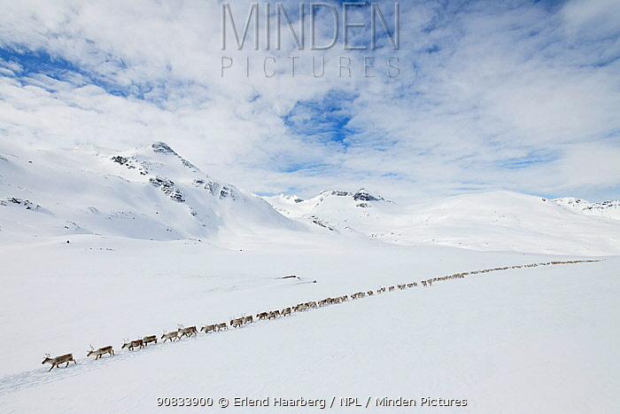 Reindeer herders moving a large flock of semi-domesticated Reindeer (Rangifer tarandus), with the help of snowmobiles, to the reindeer calving areas in the Jotunheimen National Park, Norway. April 2020.