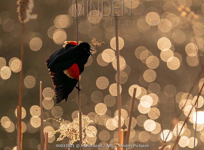 Red-winged Blackbird (Agelaius phoeniceus) male calling/displaying, Ithaca, New York, USA. March 2020.