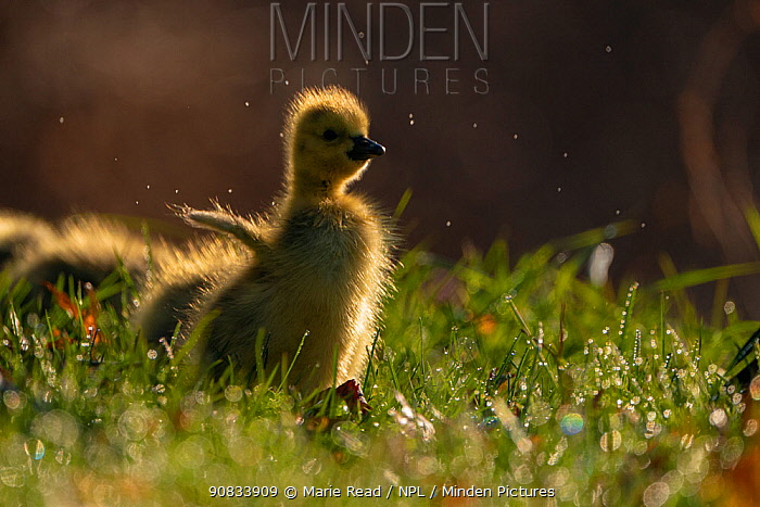 """Canada Goose (Branta canadensis) gosling flapping its """"wings"""", Ithaca, New York, USA. April 2020."""