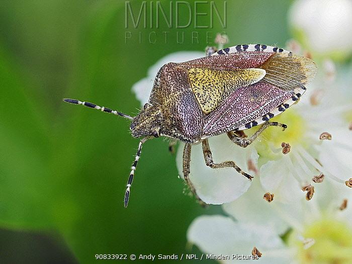 Hairy shield bug / Sloe bug (Dolycoris baccarum) on Hawthorn blossom, Hertfordshire, England, UK, April - Focus Stacked