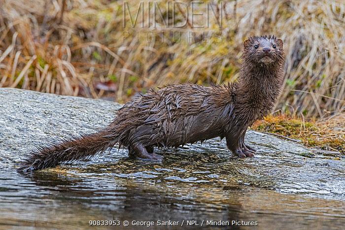 American mink (Neovison vison). Acadia National Park, Maine, USA. April.
