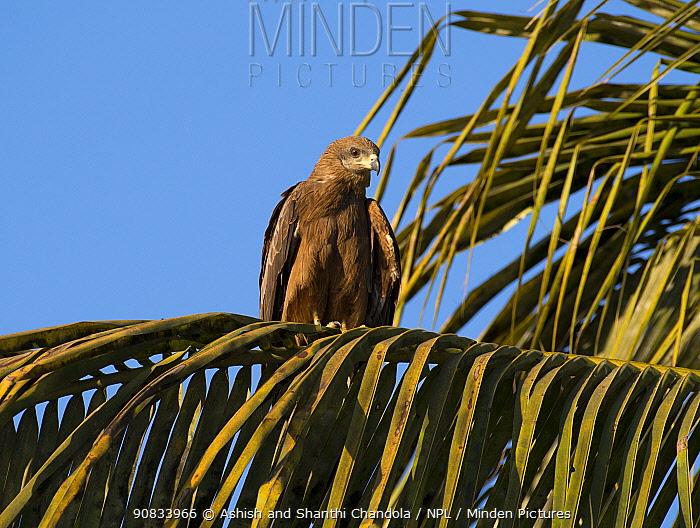 Black kite (Milvus migrans), Whitefield, Bangalore, India, March.