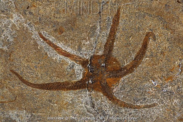 Fossil echinoderm / starfish.