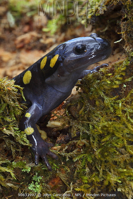 Spotted Salamander (Ambystoma maculatum) in early spring migration to woodland pond, New York, USA