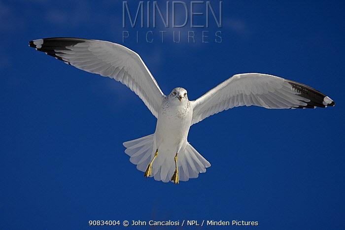 Ring-billed gull (Larus delawarensis), adult in flight, New York, USA