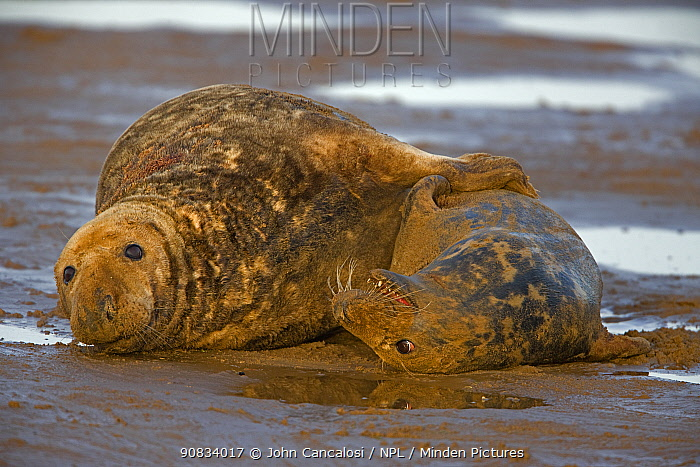 Grey seal (Halichoerus grypus), male and female mating on beach, UK