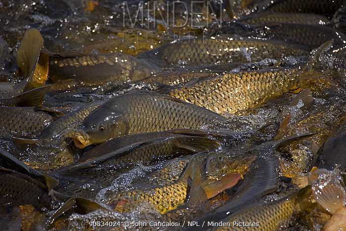 Carp (Cyprinus carpio) swimming up channel from canal in order to reach warm water lake, New York, USA. Native to Asia, introduced to US in 1880's as a food fish but proved detrimental to native fish populations and was not popular for game or food in North America.