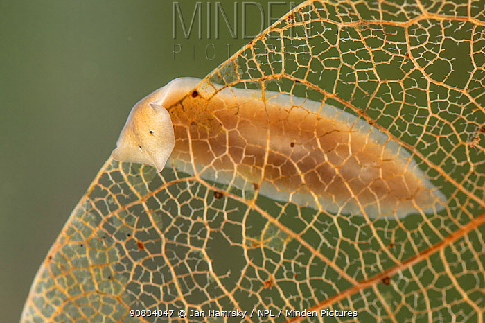 Freshwater flatworm (Dugesia gonocephala) on dead leaf, Europe, April, controlled conditions