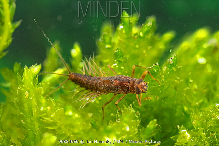 Prong-gilled mayfly nymph (Paraleptophlebia submarginata), Europe, April, controlled conditions