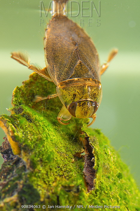 Creeping water bug (Ilyocoris cimicoides), Europe, May, controlled conditions