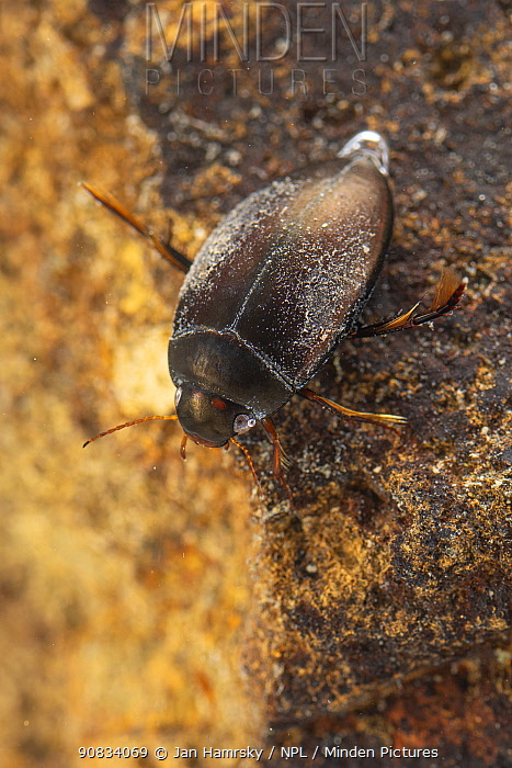 Diving beetle (Agabus sp.), Europe, April, controlled conditions
