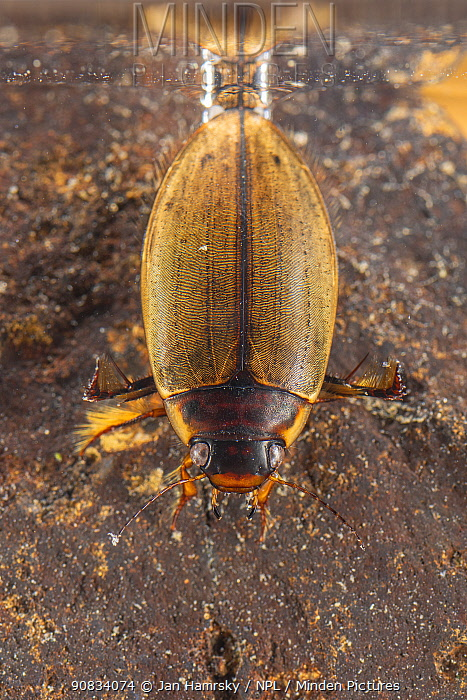 Diving beetle (Colymbetes fuscus), Europe, April, controlled conditions