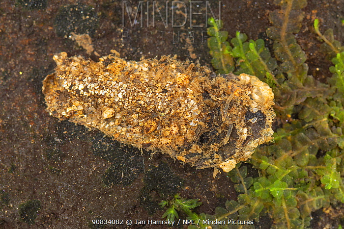 Case-building caddisfly larva (Molanna sp.), Europe, July, controlled conditions
