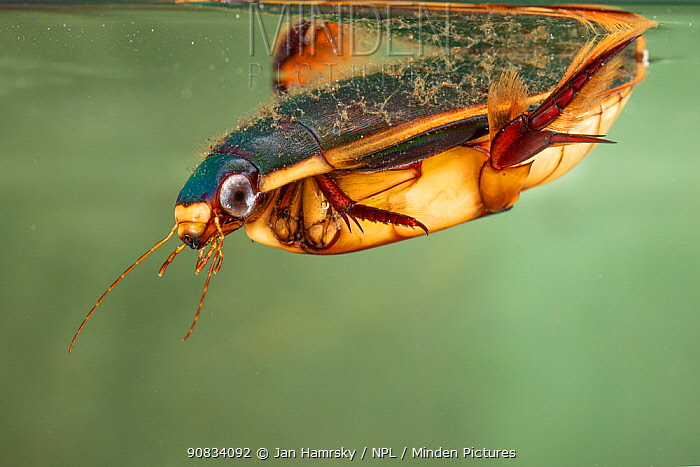 Diving beetle (Cybister lateralimarginalis) female, Europe, May, controlled conditions