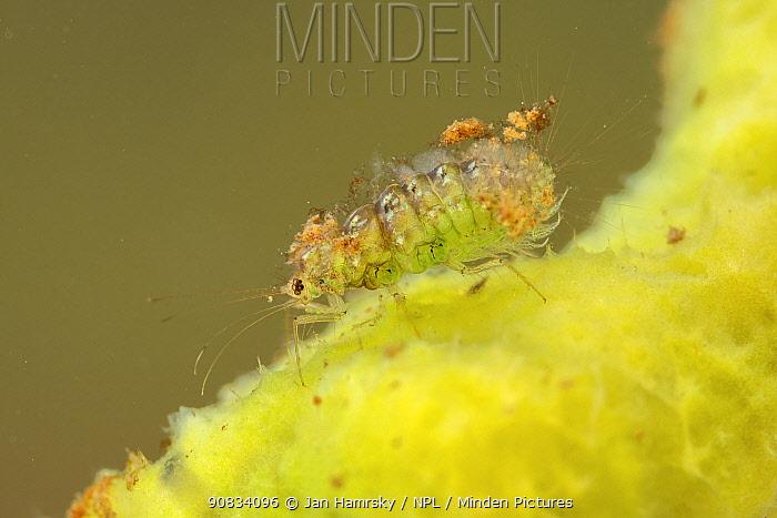 Spongillafly larva (Sisyra fuscata) feeding on freshwater sponge (Spongilla lacustris), Europe, July, controlled conditions