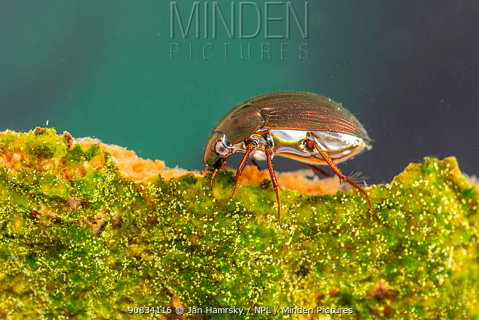Water scavenger beetle (Hydrophilidae) Europe, May, controlled conditions