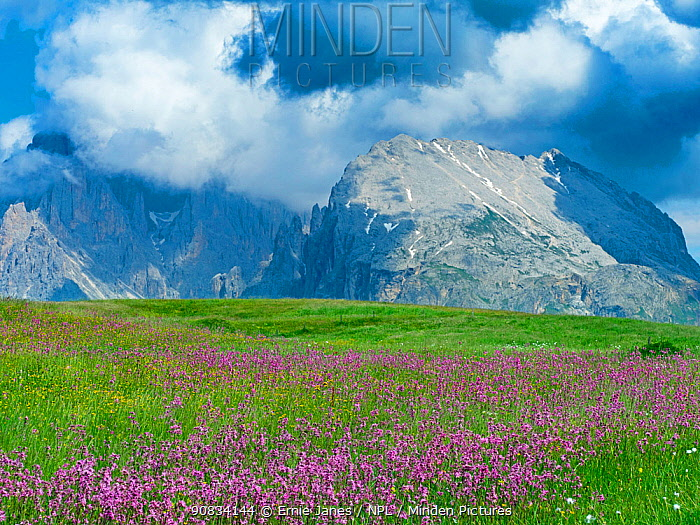 Ragged robin (Lychnis flos-cuculi) and Cottongrass (Eriophorum sp) in alpine meadow, Langkofel mountains in background. Seiser Alm Dolomites plateau, South Tyrol, Italy. July 2019.