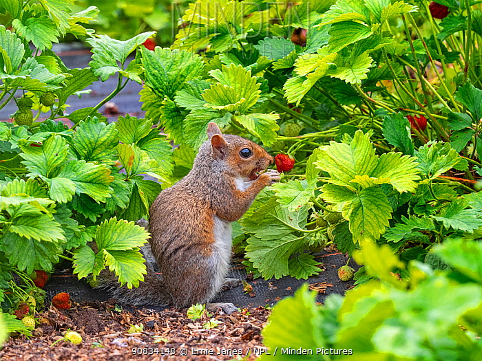 Grey squirrel (Sciurus carolinensis) feeding on Strawberries in garden. Norfolk, England, UK. June.