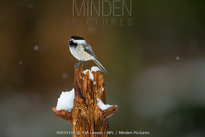 Black-capped Chickadee (Poecile atricapilla) perched on tree stump, calling, Massachusetts, USA. April.