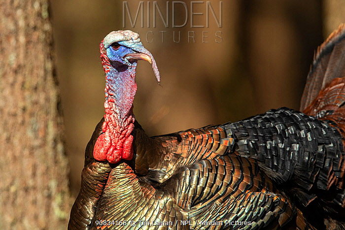 Wild turkey (Meleagris gallopavo) male, Massachusetts, USA. April.