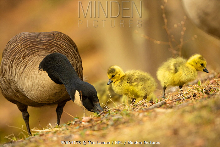 Canada goose (Branta canadensis) with goslings, a few days old. Massachusetts, USA. April.