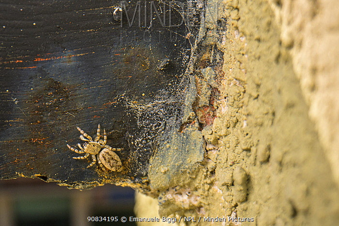 Jumping spider (Salticus sp.), on balcony, Genova, Italy, May.