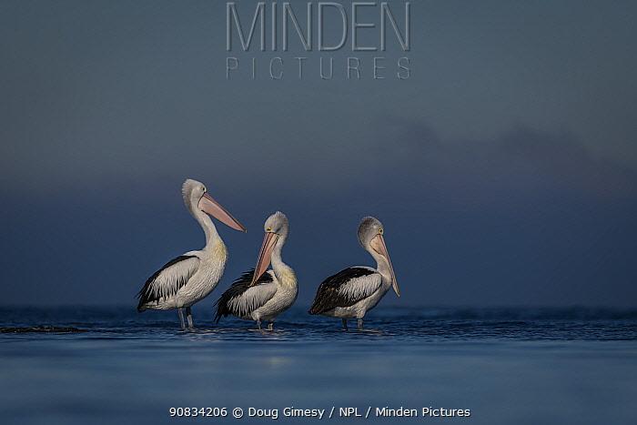 Australian pelicans (Pelecanus conspicillatus) three standing in water in Port Philip Bay, Victoria, Australia. May.