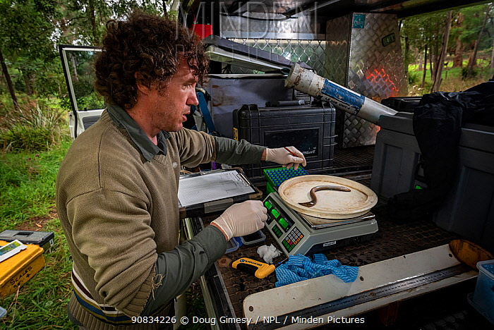 Scientist weighing Short-finned eel (Anguilla australis) before it is tagged and released, as part of ongoing research for Melbourne water, Tarago River, Neerim South, Victoria, Australia. March 2020. Model released.