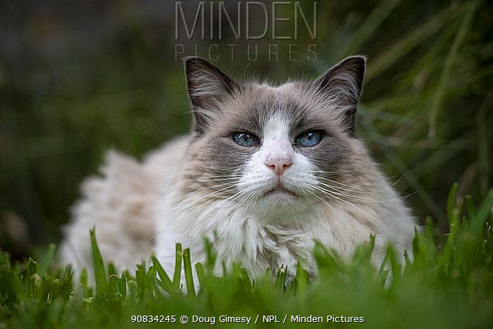 Portrait of male 12 year old domestic cat , ragdoll breed, bicolour, named Magellan, in grass looking at camera. Brighton, Victoria, Australia.