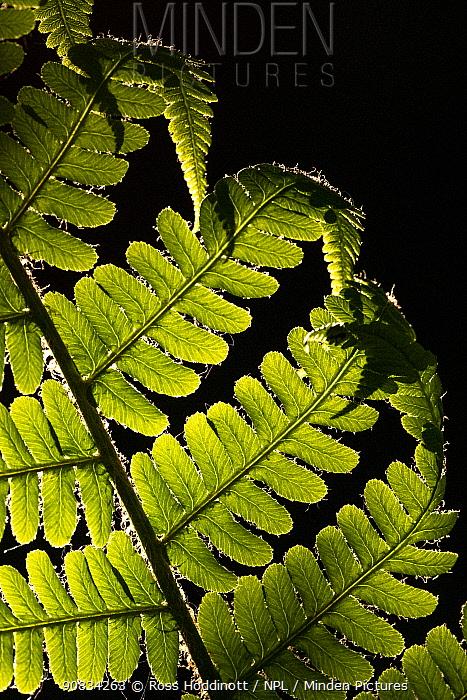 Male fern (Dryopteris felix mas) backlit, close-up, Broxwater, Cornwall, UK. May.