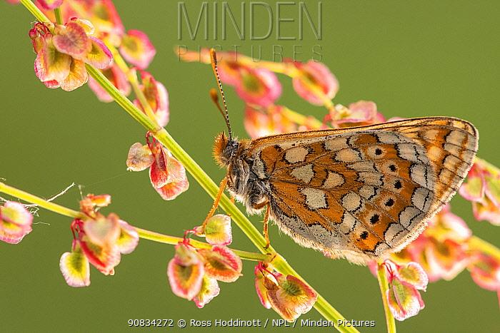 Marsh fritillary butterfly (Euphydrayas aurinia) on sorrel (Rumex acetosa), Dunsdon, Devon, UK. June