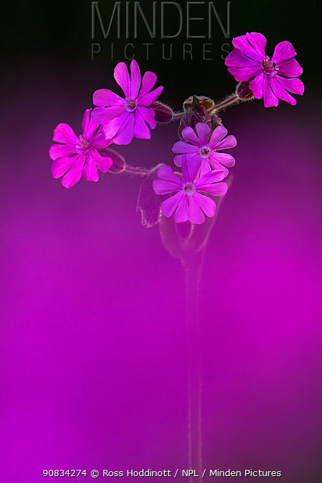 Red Campion (Silene dioica), backlit in early morning sunlight, spring, Broxwater, Cornwall, UK. April.