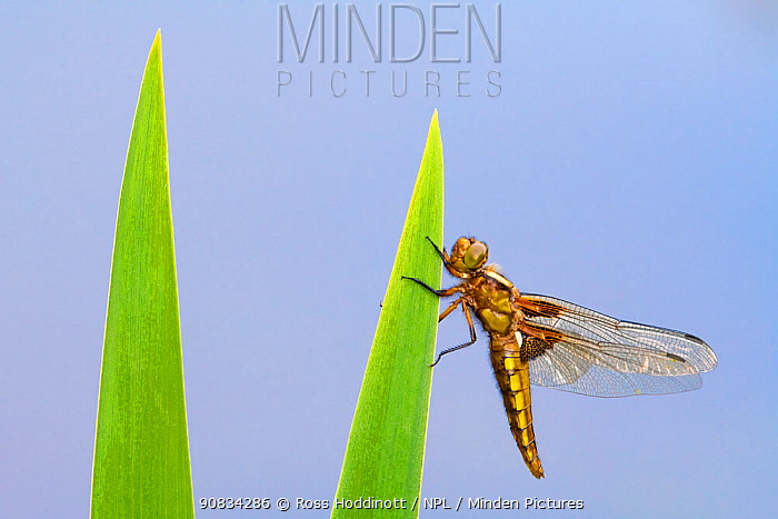 Immature broad-bodied chaser (Libellula depressa) dragonfly resting on backlit reed, Broxwater, Cornwall, UK. April.