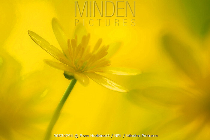 Lesser celandine flower (Ranunculus ficaria), Cornwall, England, UK. April.