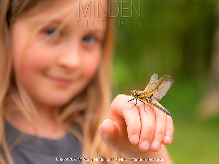 11-year old girl with a newly emerged four-spotted chaser dragionfly (Libellula quadrimaculata) on her hand, pond dipping and getting close/connecting with nature. Cornwall, UK. April.
