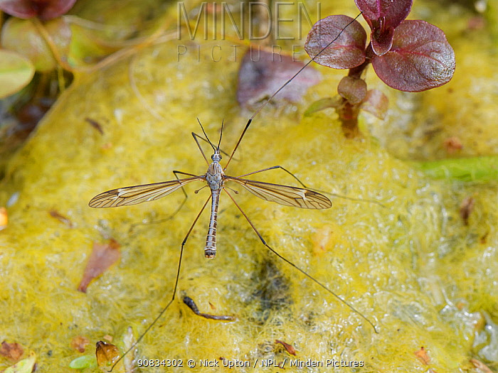 Cranefly (Tipula lateralis) male, of a distinctively patterned early spring semi-aquatic species, resting on a mat of algae in a garden pond, Wiltshire, UK, April.