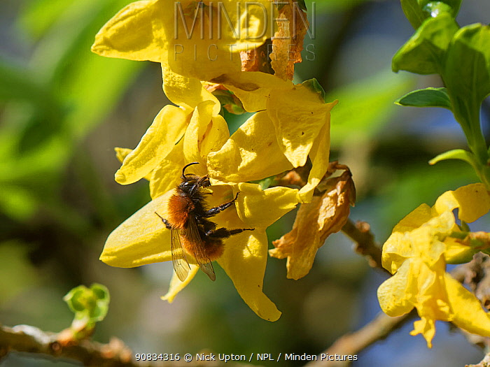 Tawny mining bee (Andrena fulva) nectaring on Forsythia flowers in a garden, Wiltshire, UK, April.