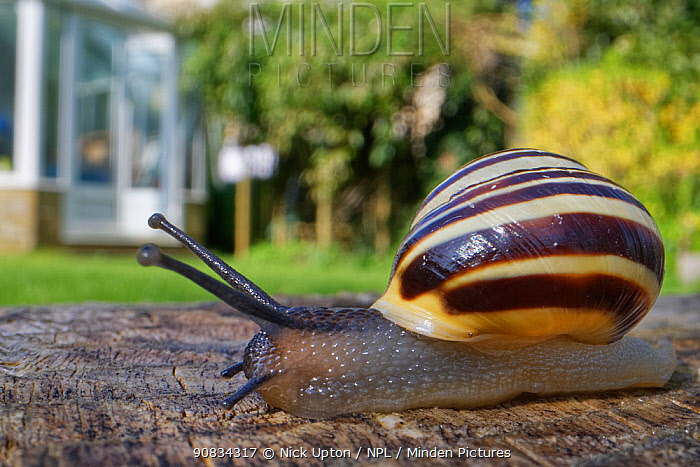 White-lipped snail (Cepaea hortensis) crawling over an oak sleeper retaining a garden lawn with a greenhouse in the background, Wiltshire, UK, April.