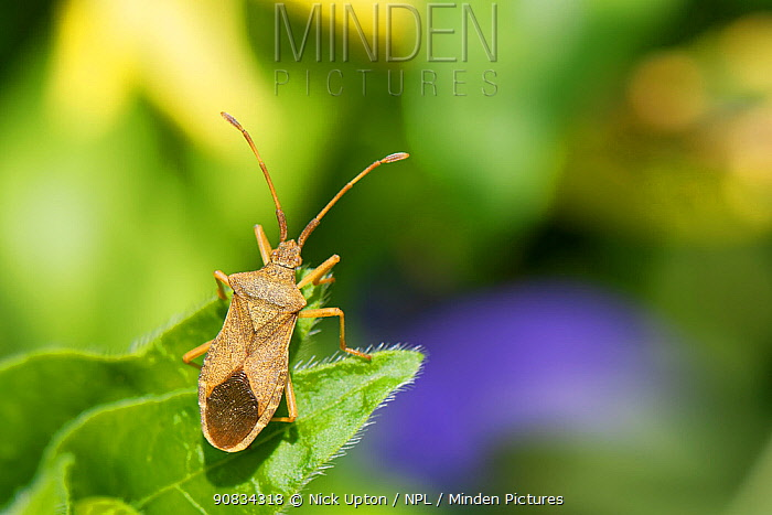 Box bug (Gonocerus acuteangulatus) on a Greater Periwinkle (Vinca major) leaf in a garden, Wiltshire, UK, April. This nationally endangered bug is spreading northwest from its former toehold in southeast UK, originally on Box bushes at Box Hill Surrey.