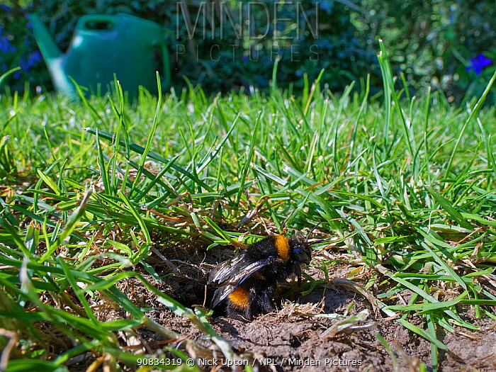 Buff-tailed bumblebee (Bombus terrestris) queen emerging from her nest burrow in a garden lawn, Wiltshire, UK, April.